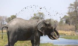 Portrait of wild free bull elephant showering Stock Images