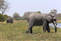 Portrait of wild free bull elephant showering Stock Photography