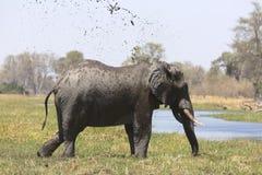 Portrait of wild free bull elephant showering Stock Image