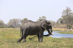 Portrait of wild free bull elephant showering Stock Photo