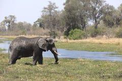 Portrait of wild free bull elephant Stock Image