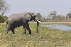 Portrait of wild free bull elephant Royalty Free Stock Image