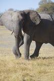 Portrait of wild free elephant Royalty Free Stock Photos