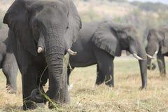 Portrait of wild free elephant bull Royalty Free Stock Photography