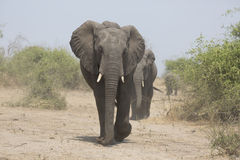 Portrait of wild free elephant bull Stock Images