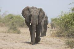 Portrait of wild free elephant bull Stock Images