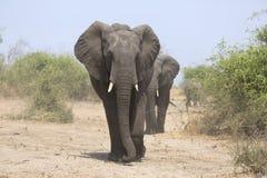 Portrait of wild free elephant bull Stock Photos