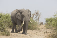 Portrait of wild free elephant bull Royalty Free Stock Photos