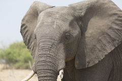 Portrait of wild free elephant bull Royalty Free Stock Images