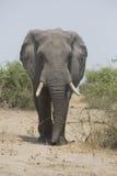 Portrait of wild free elephant bull Royalty Free Stock Photo
