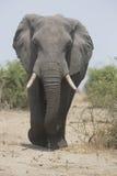 Portrait of wild free elephant bull Royalty Free Stock Images