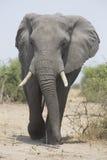 Portrait of wild free elephant bull Stock Image