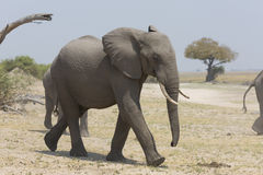 Portrait of wild free elephant Stock Photos