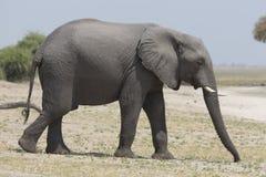 Portrait of wild free elephant Royalty Free Stock Image