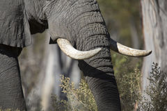 Portrait of wild free elephant Stock Image