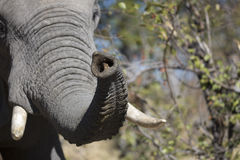 Portrait of wild free elephant Royalty Free Stock Images