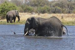 Portrait of wild free elephant Royalty Free Stock Images