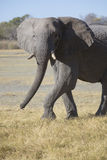 Portrait of wild free elephant Royalty Free Stock Photography