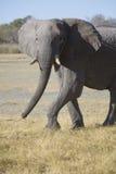 Portrait of wild free elephant Royalty Free Stock Photography