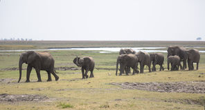 Portrait of wild free elephant bullherd Royalty Free Stock Images