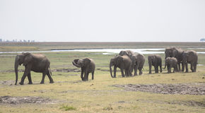 Portrait of wild free elephant herd Royalty Free Stock Images