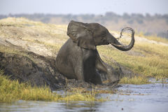 Portrait of wild free elephant showering Stock Image