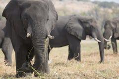 Portrait of wild free elephantbull Royalty Free Stock Photography