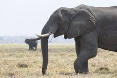 Portrait of wild free elephantbull Stock Images