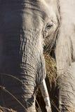 Portrait of wild free elephants Stock Image