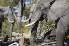 Portrait of wild free elephants Stock Images