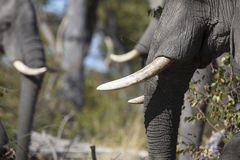 Portrait of wild free elephants Royalty Free Stock Image
