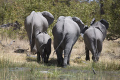 Portrait of wild free elephants in river Stock Images