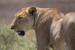 Portrait of wild free roaming african lion Stock Photo