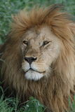 Portrait of wild free roaming african lion Royalty Free Stock Images