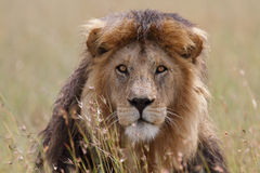 Portrait of wild free roaming african lion. Free wild roaming african lion in natural habitat Stock Image
