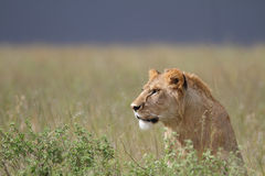 Portrait of wild free roaming african lion Stock Images