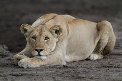Portrait of wild free roaming african lion Stock Photography