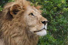 Portrait of wild free roaming african lion Royalty Free Stock Image