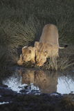 Portrait of wild free roaming african lion Royalty Free Stock Photos
