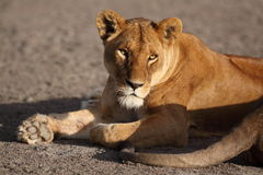 Portrait of wild free roaming african lion Royalty Free Stock Photography