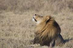 Portrait of wild free roaming african lion. Free wild roaming african lion in natural habitat Stock Photos
