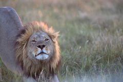Portrait of wild free roaming african lion Stock Image