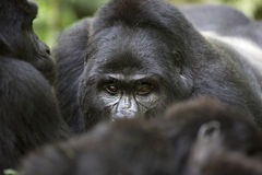 Portrait of wild free roaming gorilla Royalty Free Stock Photo