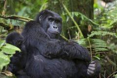Portrait of wild free roaming gorilla Stock Image