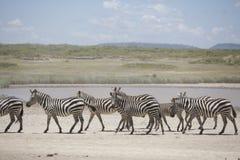 Portrait of wild free roaming zebra Royalty Free Stock Photos