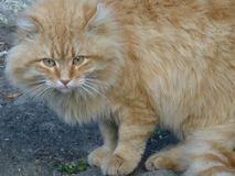 Portrait of a wild ginger cat stock photography