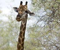 Portrait a wild giraffe , Kruger National park, South Africa Stock Photography
