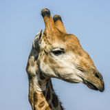 Portrait of a wild giraffe in Kruger Park, South Africa Stock Image
