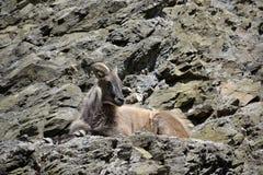 Portrait of a wild goat Stock Photos