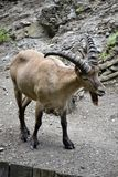 Portrait of a wild goat Royalty Free Stock Images
